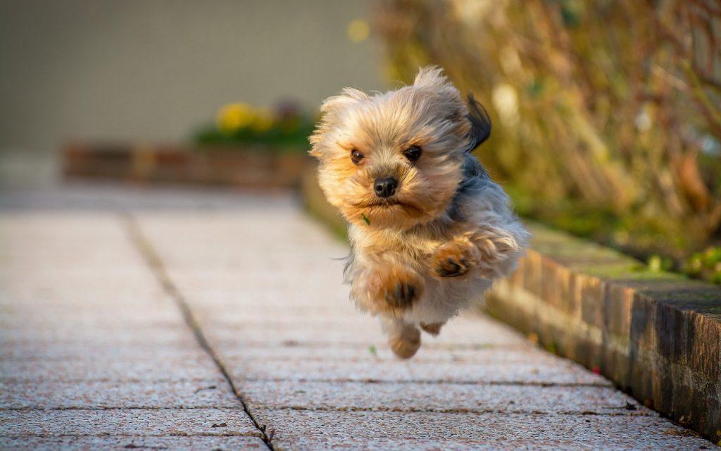 La raza Yorkshire Terrier y sus cuidados