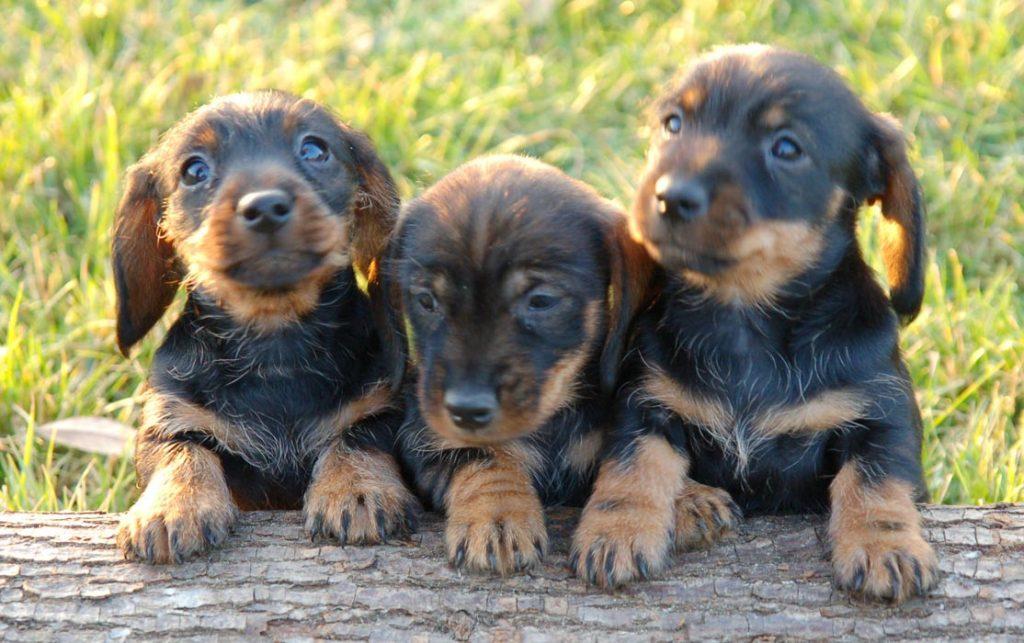 Las características físicas del dachshund o teckel