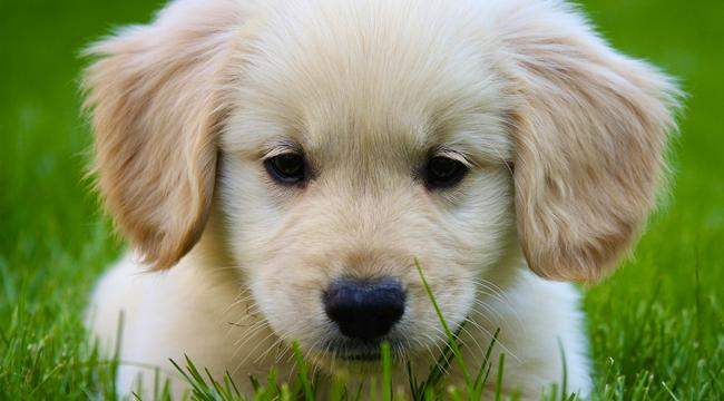 Las enfermedades más comunes del perro Golden Retriever