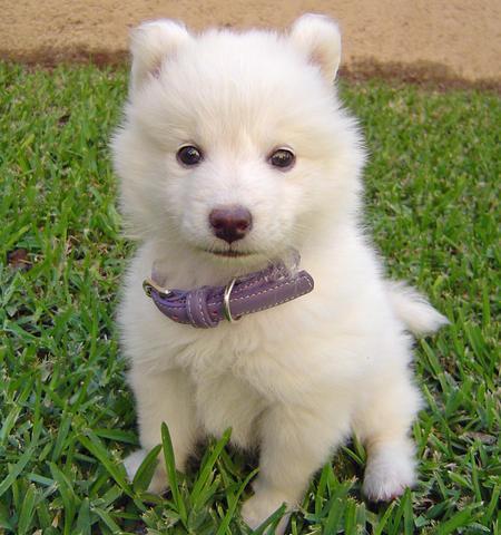 Los cachorros de la raza samoyedo