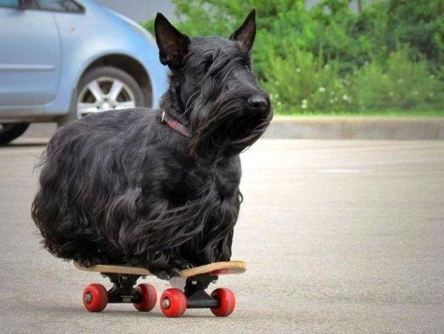 Los cuidados del perro Scottish terrier
