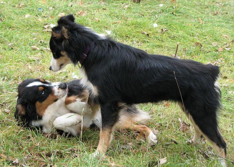 Mi perra está en celo y se pelea con otras perras