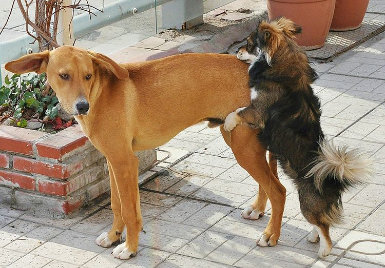 Mi perro no deja de montar a otros machos
