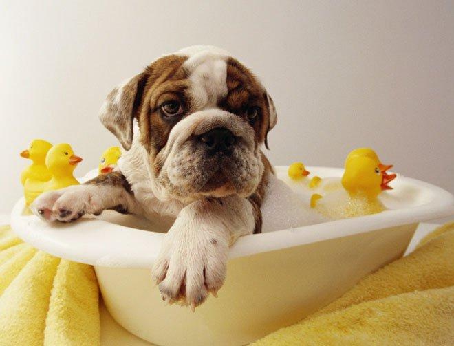 Perro Baño | 9 Mitos Sobre El Bano De Los Perros Te Sorprendera Wakyma