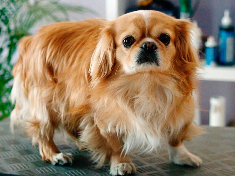cómo es el carácter de la raza de perro pekinés