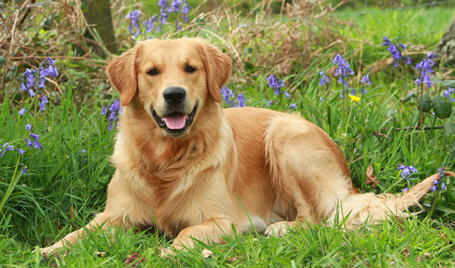 Origen de la raza Golden Retriever