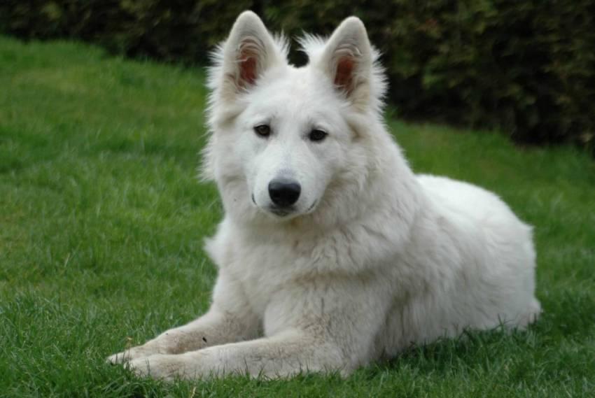 orígenes del perro pastor aleman blanco suizo