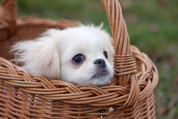 perro de la raza pekinés