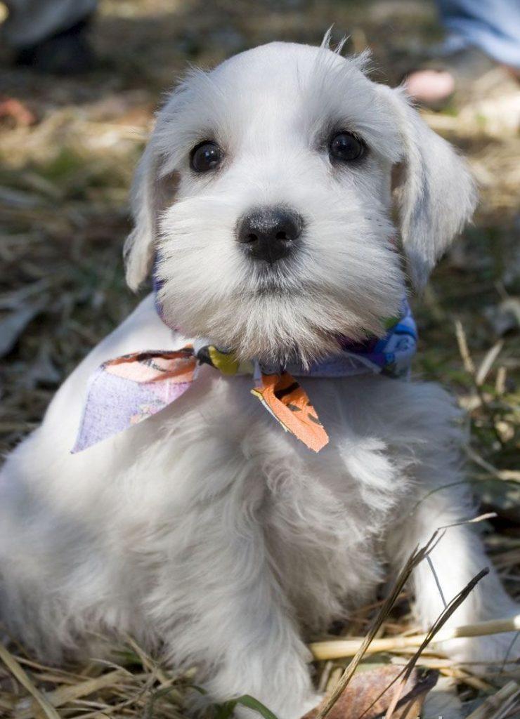 perros de raza schnauzer