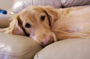 Por qué los perros se vuelven locos cuando huelen a una perra en celo