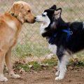 Primer celo en perros