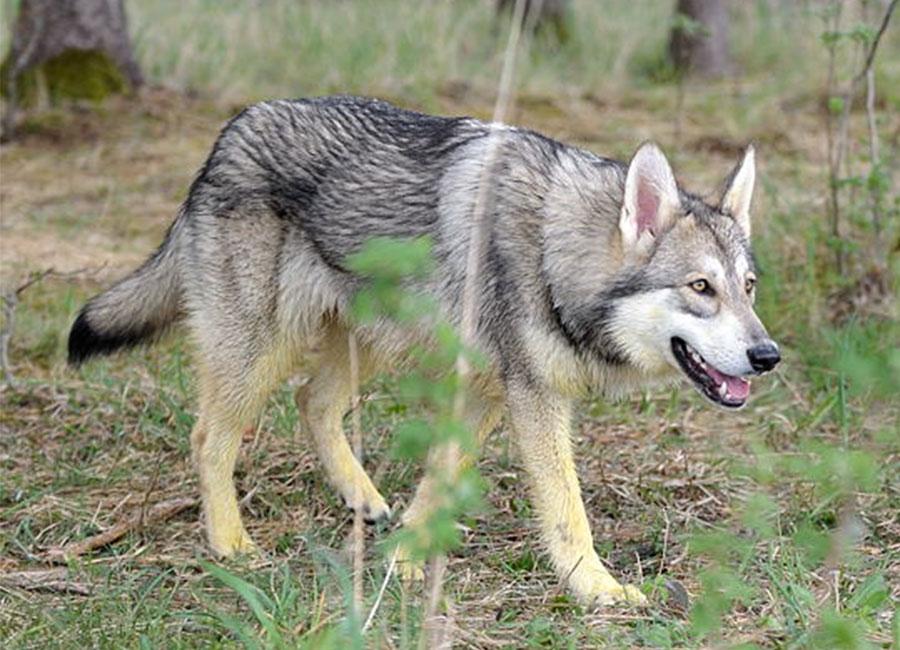 Qué características físicas tiene la raza del perro lobo de Saarloos