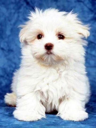 Qué características físicas tienen los perros de la raza bichón maltés