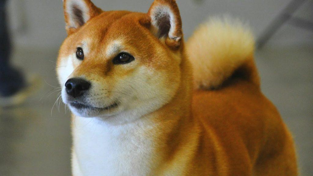 Qué características físicas tienen los perros shiba inu