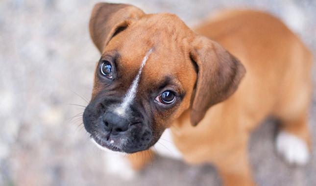 Qué caracteriza físicamente a la raza de los perros bóxer