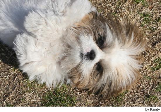 Qué caracteriza físicamente a los perros de raza lhasa apso