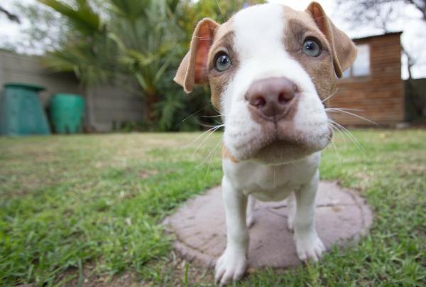 Qué caracteriza físicamente a un perro pit bull terrier americano
