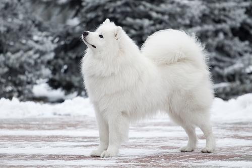 Qué caracteriza físicamente al perro de raza samoyedo
