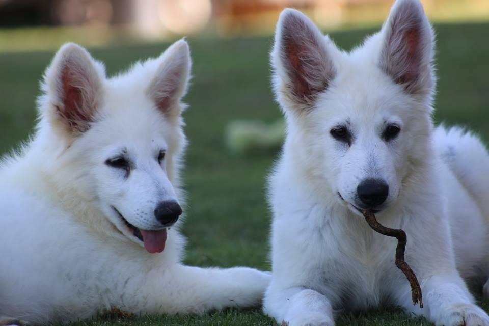 Qué cuidados necesita el perro pastor alemán blanco suizo
