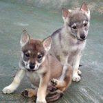 Qué cuidados necesita la raza del perro lobo de Saarloos