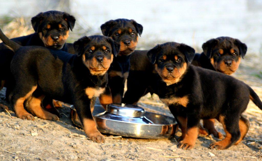 Qué cuidados necesita un perro de raza rottweiler