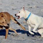 Qué hacer ante una perra en celo agresiva