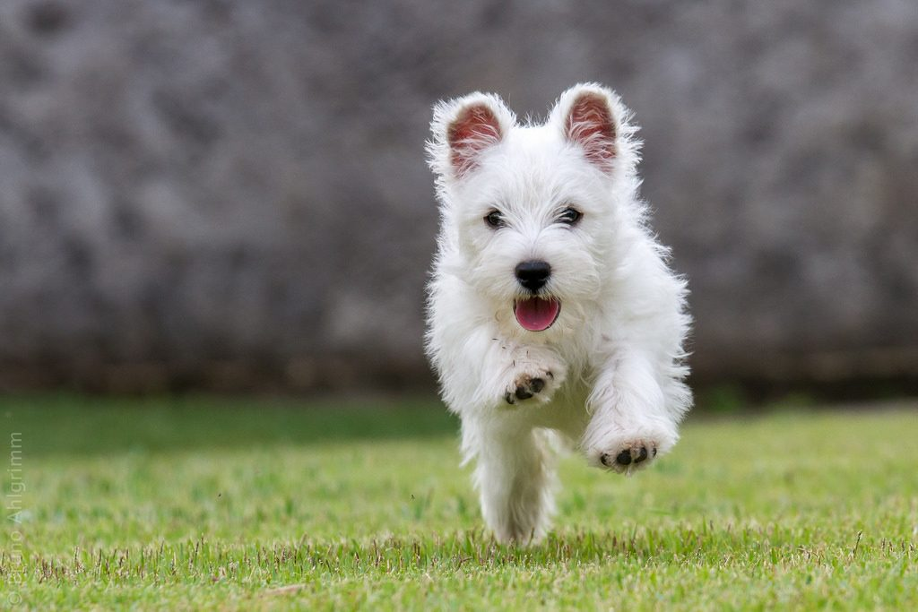 Qué temperamento tienen los perros de raza west highland white terrier