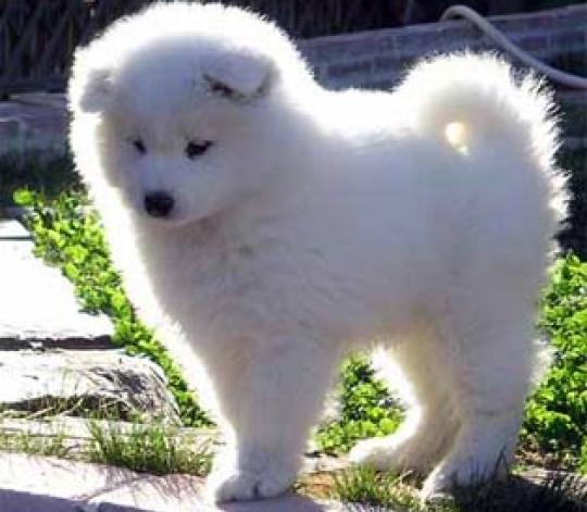 raza de perro samoyedo