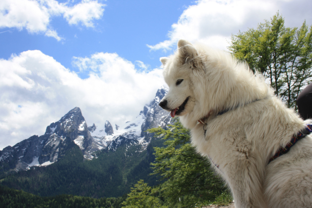 Suele tener problemas de salud el perro de raza samoyedo