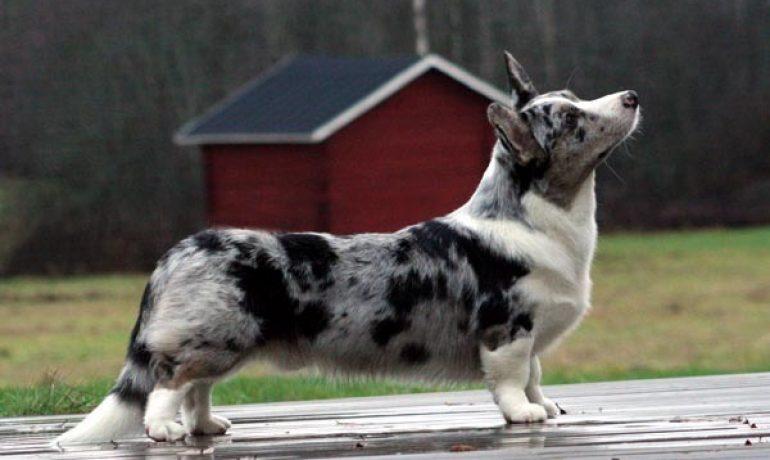raza perro Welsh corgi Cardigan