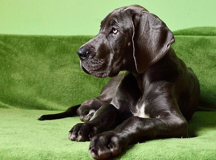 Torsión de estómago canino