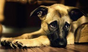 cachorro_triste