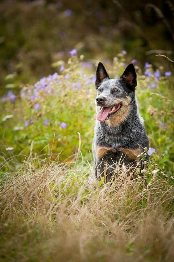 Cattle dog australiano