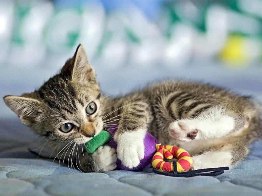 Cómo socializar a un gato