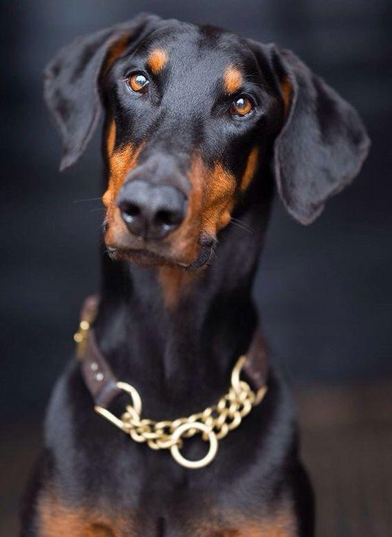 perros más inteligentes Doberman