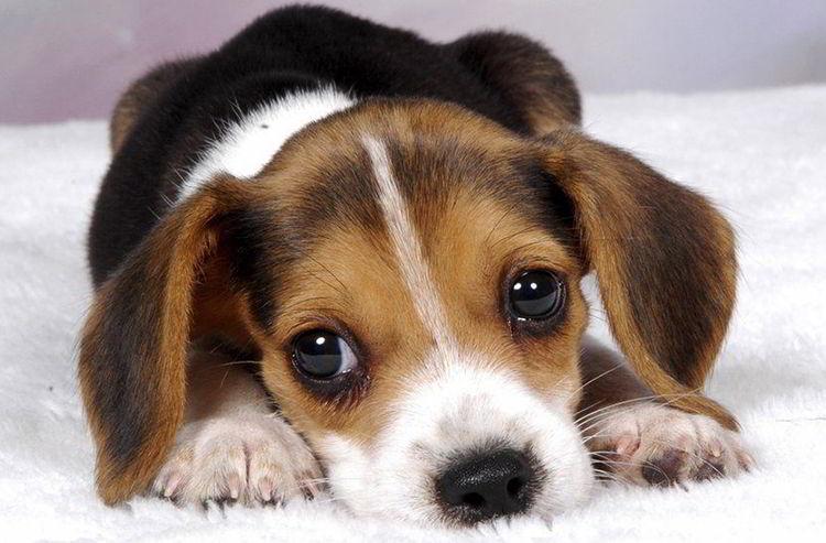 Equivalencia en años humanos de los perros cachorros y jóvenes