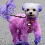 Es peligroso teñir el pelo a un perro