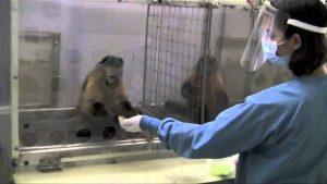 experimento monos
