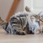 Los gatos son buenos para tu salud cardíaca