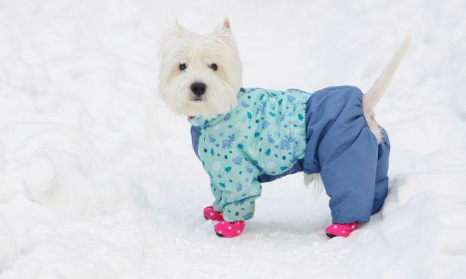 los perros no tienen frío en la nieve
