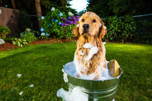 mitos sobre el baño de los perros