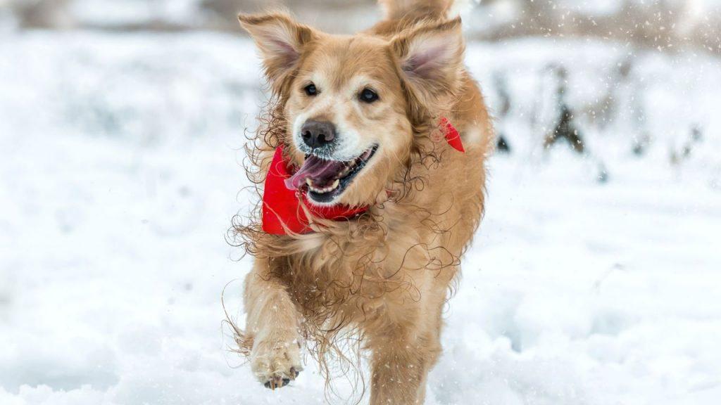 por que a los perros les gusta tanto la nieve