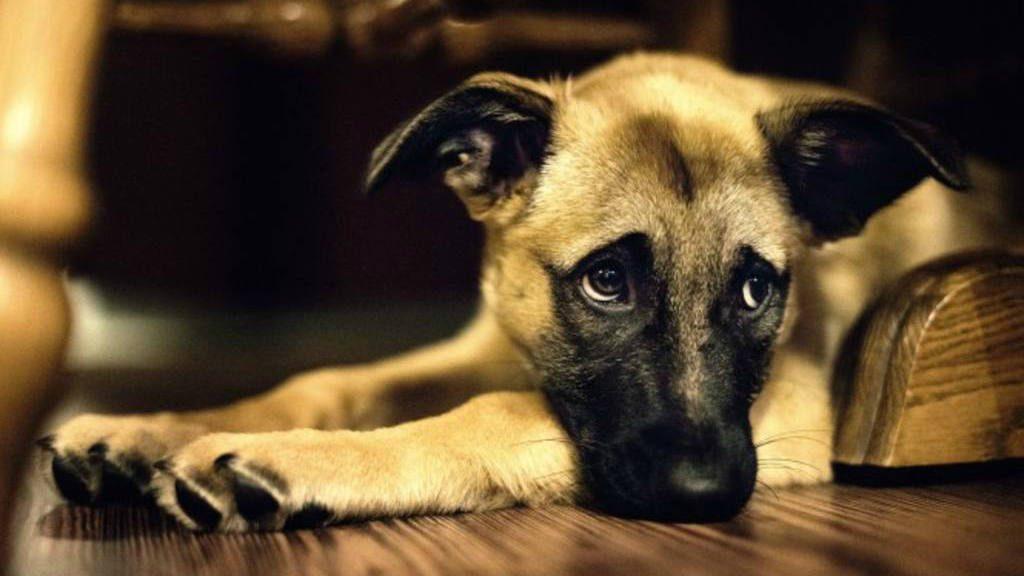 Por qué mi perro tiene miedo a los petardos