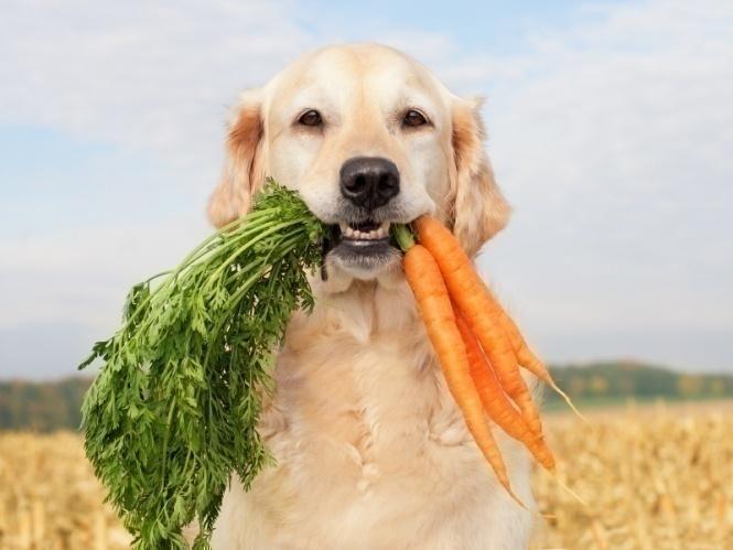 Pueden ser los perros vegetarianos