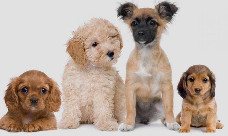 Quieres saber cómo calcular la edad de los perros en años humanos