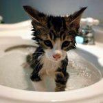 Te enseñamos cómo bañar a un gato