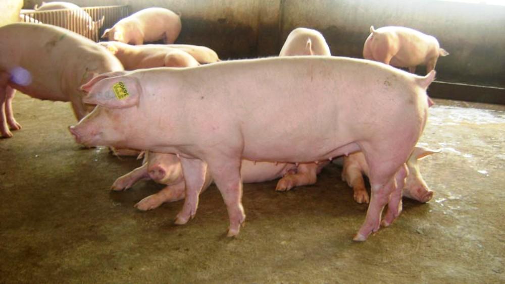 animales de granja cerdos