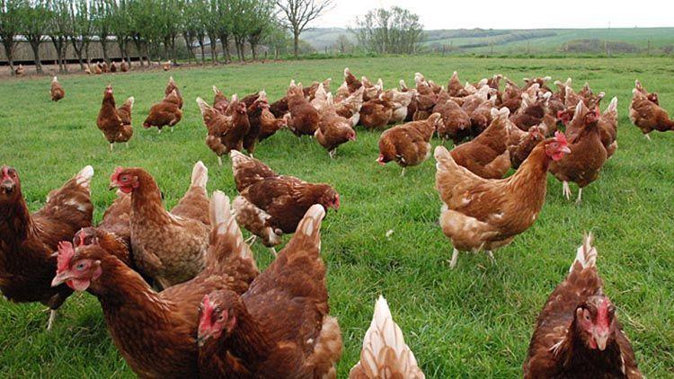 animales de granja gallinas