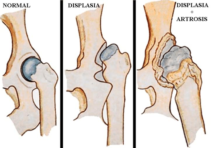 Causas de la displasia de cadera en perros