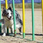 Cómo desarrollar la inteligencia de tu perro